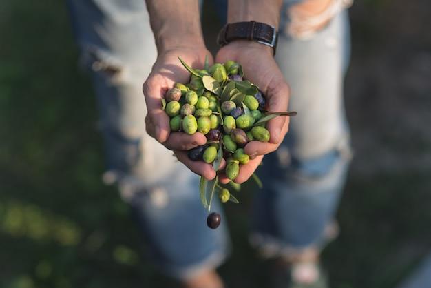 Eine handvoll oliven, taggiasca oder cailletier, sorte, die hauptsächlich in südfrankreich angebaut wird. Premium Fotos