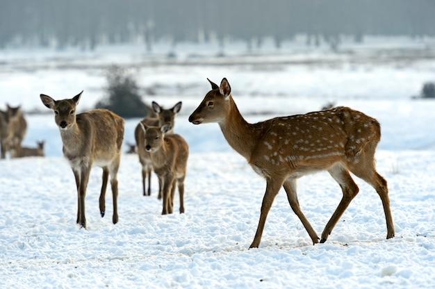 Eine herde gefleckter hirsche im winter Premium Fotos