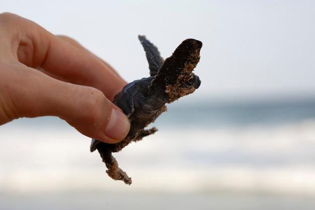 Eine kleine baby-unechte karettschildkröte (caretta carretta) wird von einem touristen an der küste gehalten, um zu schützen, ein neues leben zu schlüpfen, Premium Fotos