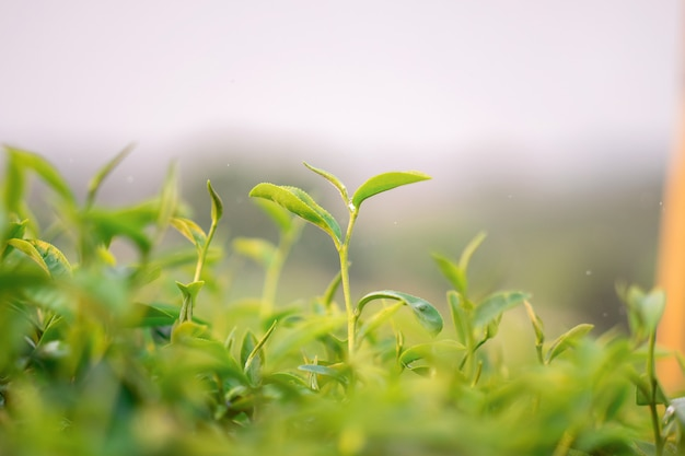 Eine nahaufnahme schoss von den frischen grünen teeblättern bei choui fong tea plantation in chiang rai, thailand. Premium Fotos