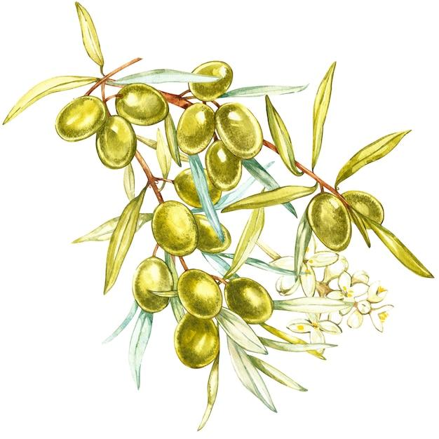 Eine niederlassung von saftigen, reifen grünen oliven und von blumen auf einem weißen hintergrund. botanische aquarellillustration. Premium Fotos