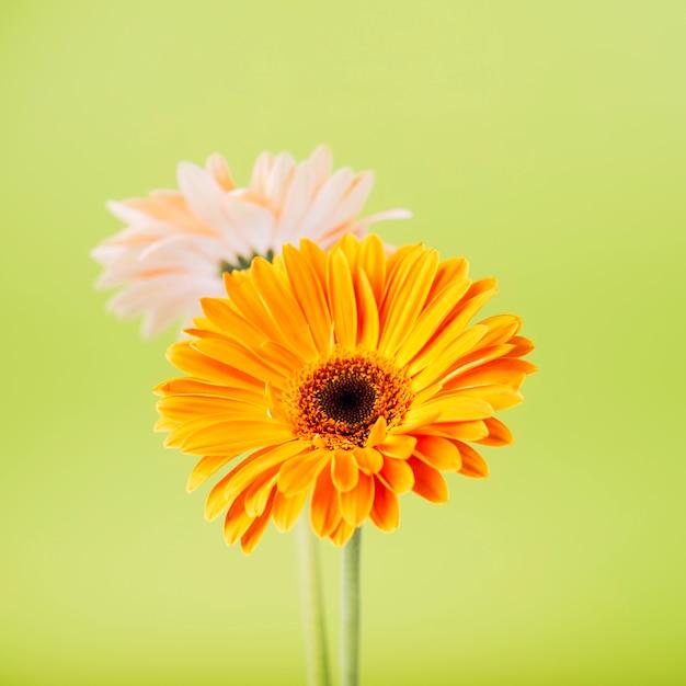 Eine orange und rosa gerberablume gegen grünen hintergrund Kostenlose Fotos