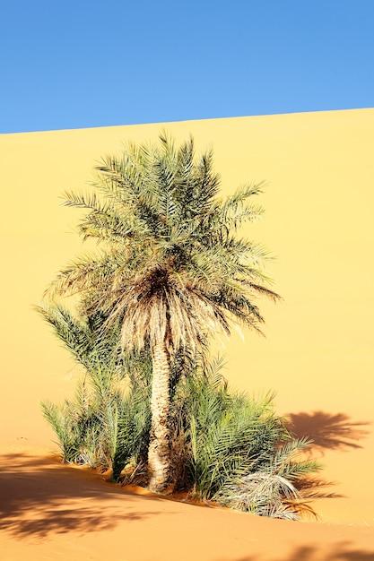 Eine palme in der wüste mit sanddünen und blauem himmel Kostenlose Fotos