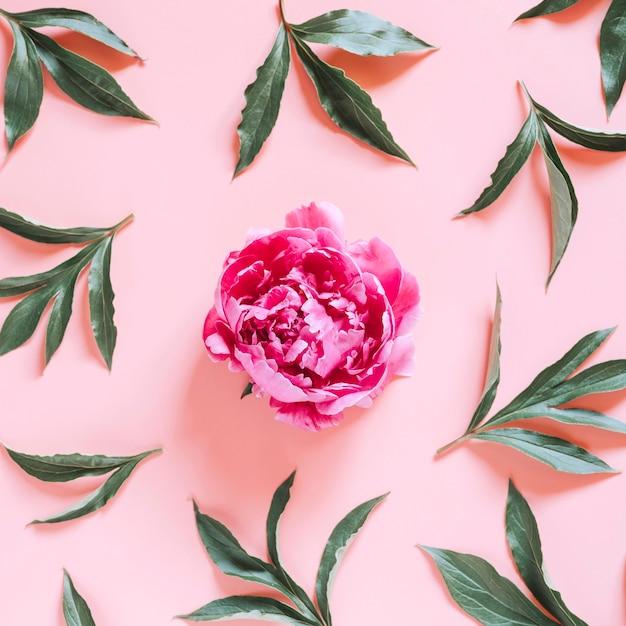 Eine pfingstrosenblume in voller blüte lebendige rosa farbe und sich wiederholendes muster von blättern, lokalisiert auf hellrosa hintergrund. flach liegen, draufsicht. platz Premium Fotos