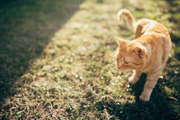 Eine rote katze, die auf einen bauernhof unter der sonne geht Premium Fotos