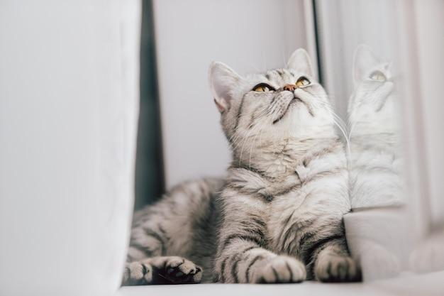 Eine schottische oder britische katze mit einer marmorierten schwarzweiss-farbe steht auf einem weißen fensterbrett an einem hellen sonnigen tag still. Premium Fotos