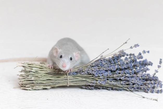 Eine süße graue dekorative ratte sitzt neben einem trockenen lavendelstrauß. aromatherapie. nagetier nahaufnahme. Premium Fotos