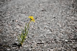 einsame Blume Asphalt Kostenlose Fotos