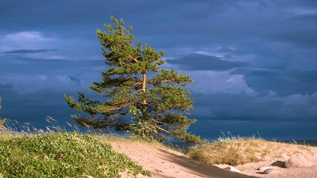 Einsame kiefer eines stürmischen himmels auf den dünen der ostsee Premium Fotos