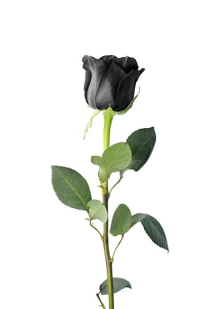Einzelne schwarze rose isoliert Premium Fotos
