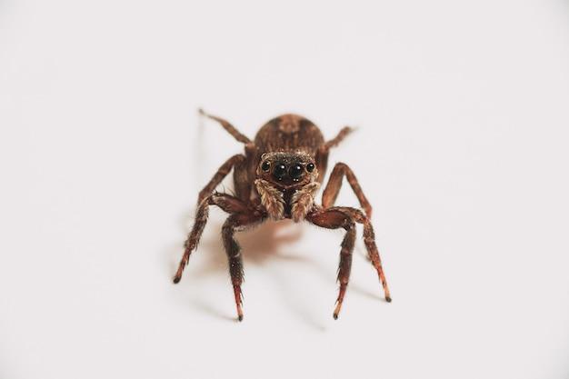 Einzelne spinne lokalisiert auf einem weißen hintergrund Kostenlose Fotos