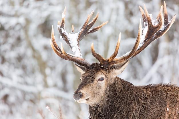 Einzelner erwachsener edler hirsch mit großen schönen hörnern mit schnee auf winterwald Premium Fotos