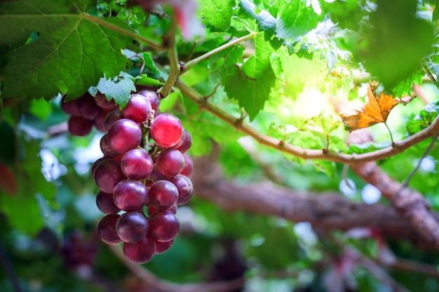 Einzelnes bündel reife trauben weinberge bei sonnenuntergang im herbstsonnenuntergang Premium Fotos