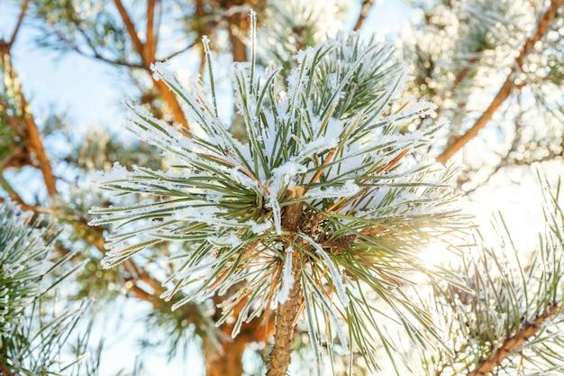 Eisige kieferniederlassung im schneebedeckten wald. kaltes wetter am sonnigen morgen Premium Fotos