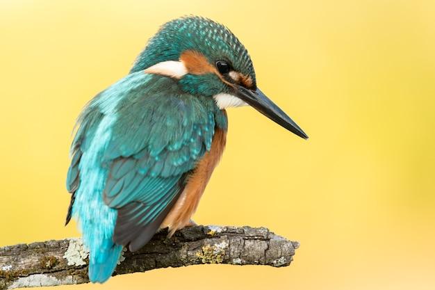 Eisvogelvogel, der auf einer niederlassung sich putzt Premium Fotos