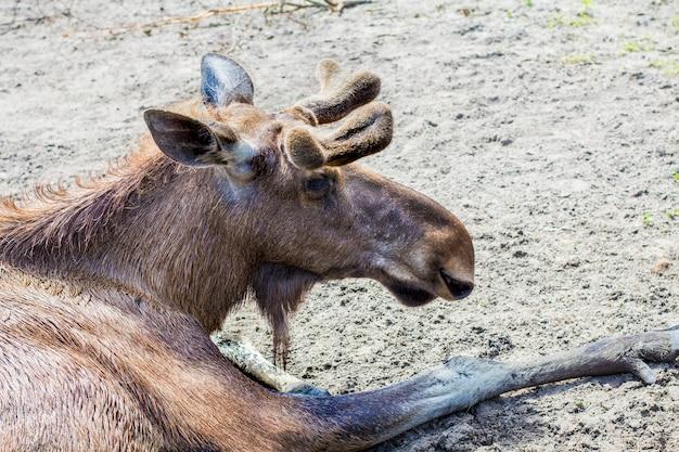 Elch im zoo Premium Fotos