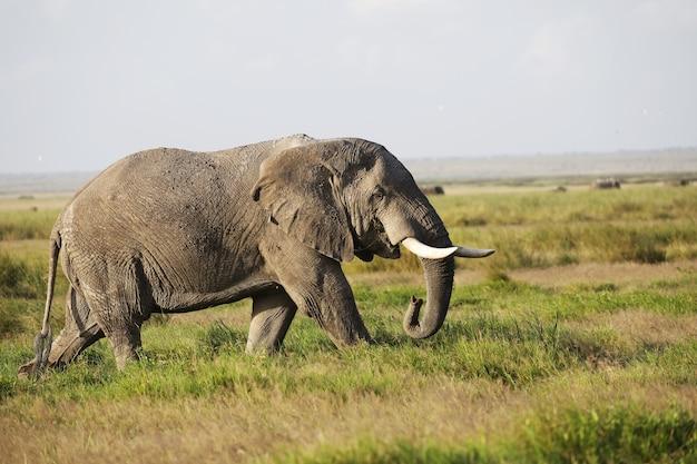 Elefant, der auf einer grünen wiese im amboseli-nationalpark, kenia geht Kostenlose Fotos