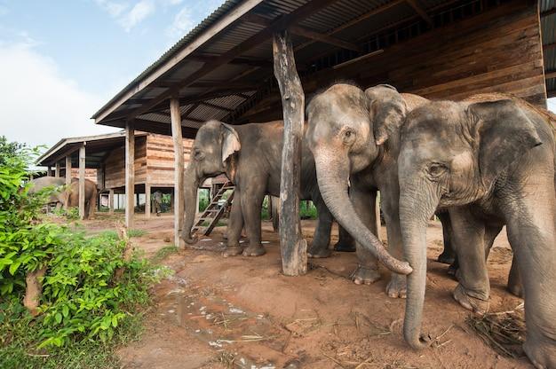 Elefant-dorf (studienzentrum) surin thailand Premium Fotos