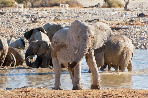 Elefant in der nähe von wasserloch. afrikanisches natur- und wildreservat, etosha, namibia Premium Fotos