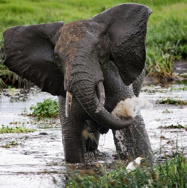 Elefant trinkt wasser aus pfützen. Premium Fotos