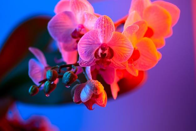 Empfindliche rosa orchidee mit tautropfennahaufnahme auf hellblauem hintergrund Premium Fotos