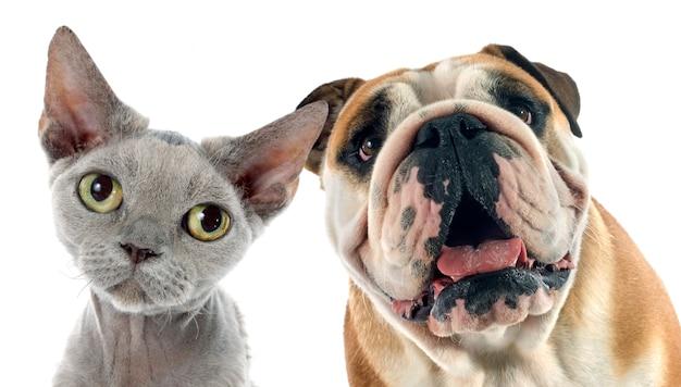 Englische bulldogge und devon rex Premium Fotos