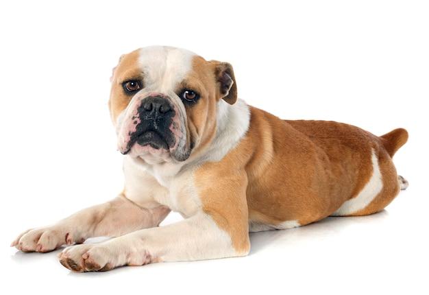 Englische bulldogge Premium Fotos