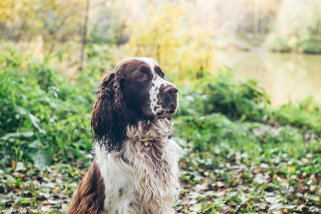 Englischer springerspanielhund sitzt im herbstwald Premium Fotos