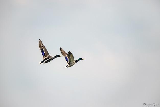Ente mit entlein in freier wildbahn. selektiver fokus Premium Fotos