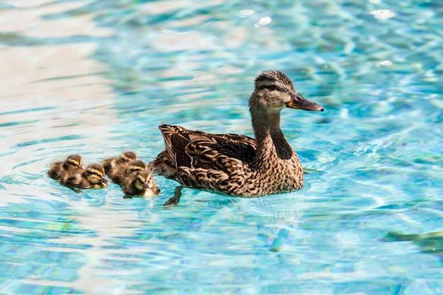 Enten schwimmen Premium Fotos