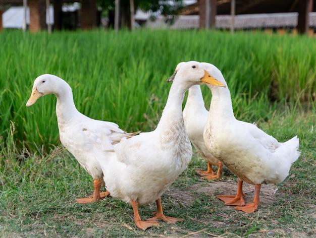 Enten viele weiß ein reisfeld Premium Fotos