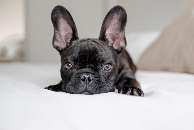 Entzückende kleine französische bulldogge, die kamera betrachtet Kostenlose Fotos