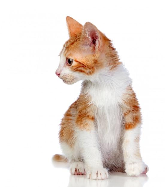 Entzückende kleine katze lokalisiert auf weißem hintergrund. Premium Fotos