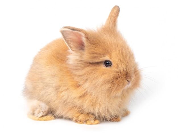 Entzückende rotbraune kaninchen des babys lokalisiert Premium Fotos