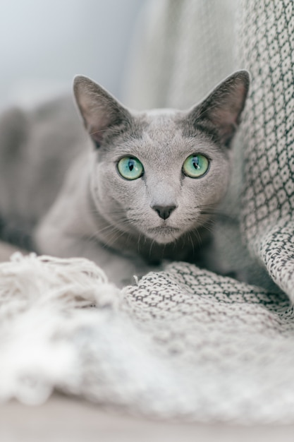 Entzückende russische blaue katze mit lustiger emotionaler