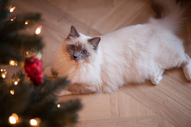 Entzückende sibirische flaumige katze mit blauen augen zuhause mit weihnachtsbaum Premium Fotos