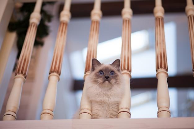 Entzückende sibirische flaumige katze mit blauen augen zuhause Premium Fotos