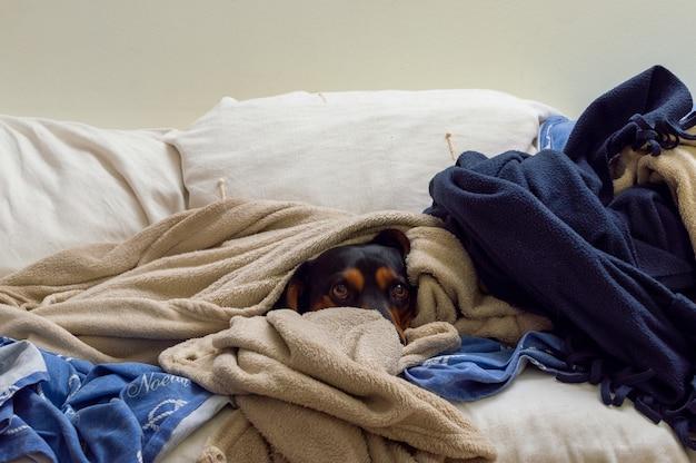 Entzückender brauner hund bedeckt in mehreren decken auf der couch Kostenlose Fotos