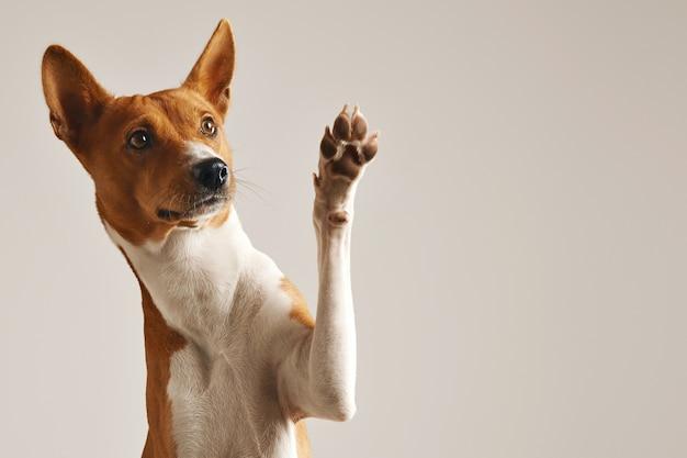 Entzückender brauner und weißer basenji hund, der lächelt und eine hohe fünf lokalisiert auf weiß gibt Kostenlose Fotos
