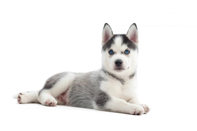 Entzückender kleiner siberian husky welpe mit den blauen augen, die lokal auf weißem copyspace liegen. Kostenlose Fotos