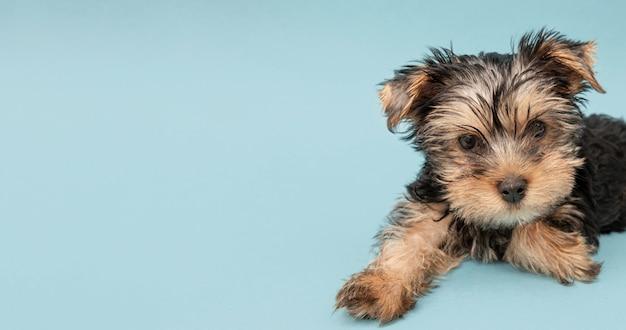 Entzückender yorkshire terrier welpe mit kopienraum Premium Fotos