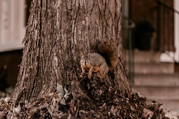 Entzückendes braunes eichhörnchen des pelzes ordentlicher großer baum Premium Fotos