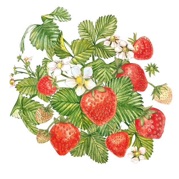 Erdbeerblätter mit blüten und reifen beeren. helle zusammensetzung eines erdbeerbusches. hand gezeichnete aquarellmalereiillustration. Premium Fotos