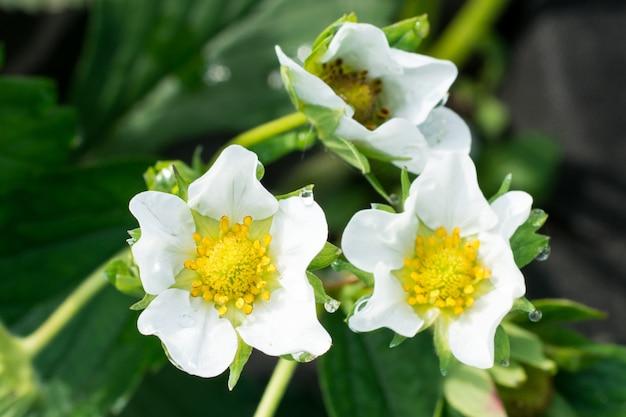 Erdbeerblumen auf der sonne Premium Fotos