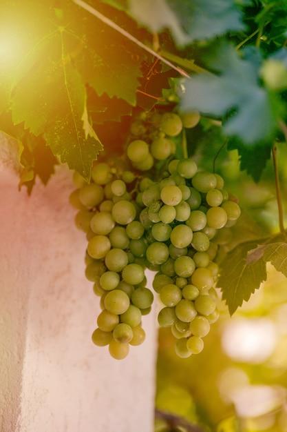 Ernte von grünen und blauen trauben. felder weinberge reifen trauben für wein Premium Fotos