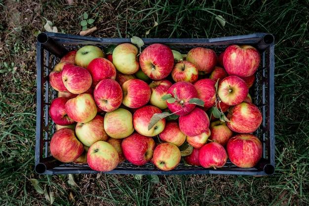 Ernte von roten äpfeln in schwarzer plastikbox. Premium Fotos