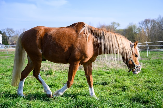 Erstaunliche ansicht eines schönen braunen pferdes, das auf gras geht Kostenlose Fotos