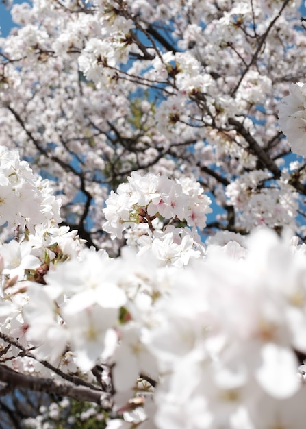 Erstaunliche ansicht eines schönen kirschblütenbaumes Kostenlose Fotos