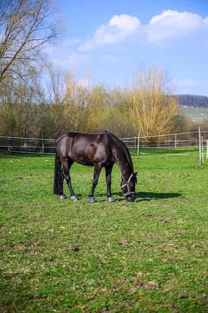 Erstaunliche ansicht eines schönen schwarzen pferdes, das ein gras isst Kostenlose Fotos
