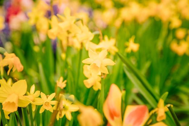 Erstaunliches gelbes narzissenblumenfeld morgens sonnenlicht Kostenlose Fotos